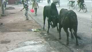 Download Two indian cows(bulls) fight accident in Varanasi !!