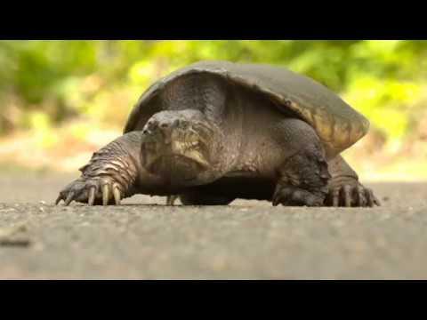 Helping turtles cross the road