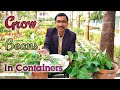 Grow Huge Number of Beans in Containers Most Easily. Grow Bush bean at home.