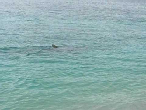 Big Shark close to shore at Turquoise Bay, Ningaloo Reef, Western Australia