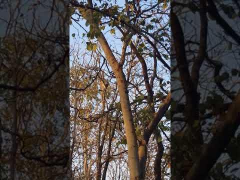 Langur monkey alarm calling, Pench, India