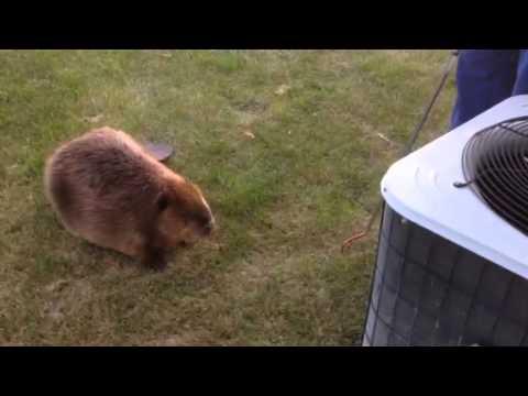 Beaver in my backyard