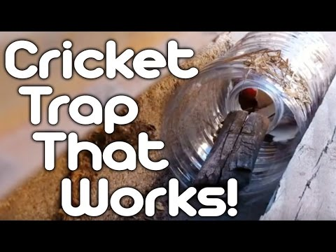 Cricket trap that works!
