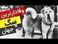وفادارترن سگ دنیا که به نماد ملی ژاپن تبدیل شد