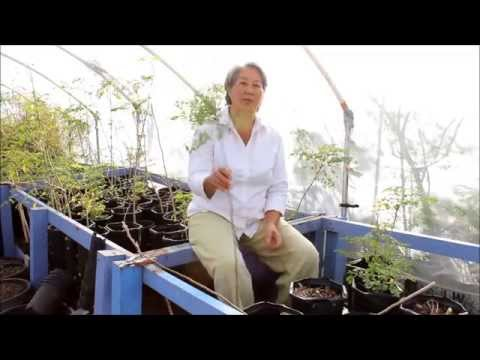 How to Prune your Moringa for More Leaf Production