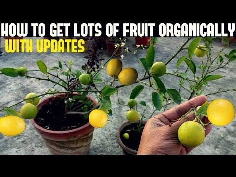 Fix Lemon Bud Drop Problem | Get Loads of Fruit On Your Fruit Plants (Organically)