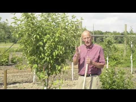 Getting your Apple Tree To Bear Fruit