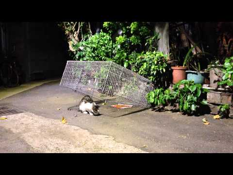 8:52完整版 Feral cat TNR Neighborhood Cats Drop Trap 20141002