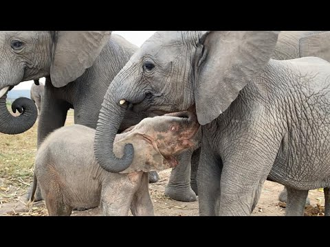Elephant orphans Timisa and Khanyisa will steal your hearts!