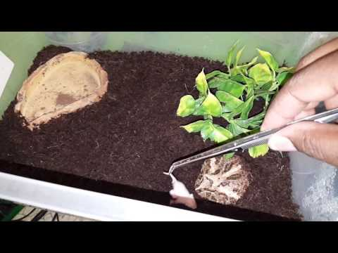 My new Apricot Pacman Frog and a baby mouse live feeding episode 14
