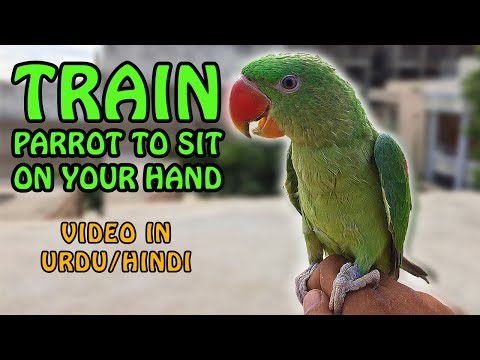 Parrot Training Progress | How to train a parrot to sit on your hand | Video in URDU/Hindi