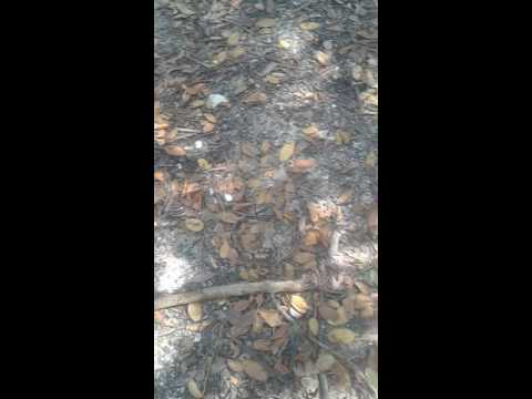 How to catch fiddler  crab with stick