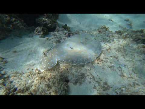 Peacock Flounder - Roatan, Honduras