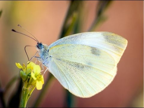 How to Get Rid of White Cabbage Moth and Caterpillars