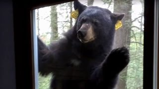 Watch as Terrifying Bear With a Taste for Brownies Refuses to Leave Woman