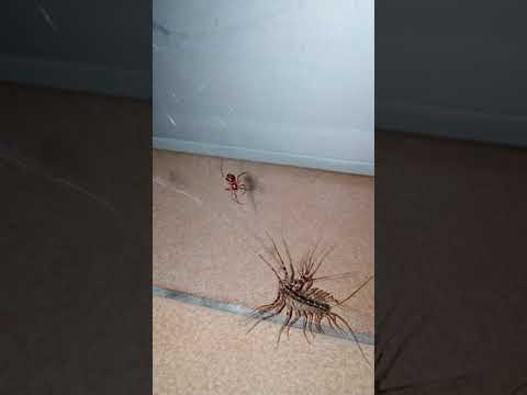 House centipede caught in cobwebs and amputated by tiny spider.