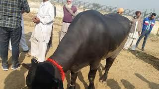 heera bull Videos - 9tube tv