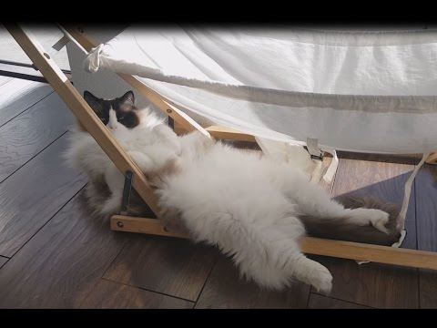 Fluffy Cat In Funny Positions- Timo the Ragdoll Cat