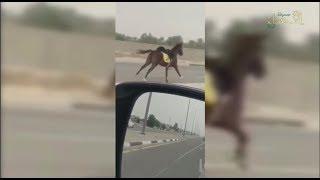 في الأحساء... مطاردة غريبة لحصان هارب ومواطن يقفز من سيارته للإمساك به