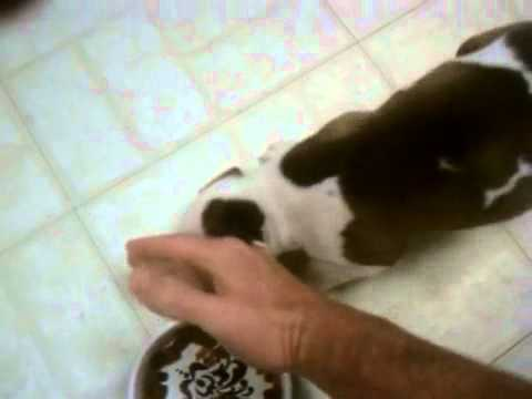 4 Week Old food aggressive Puppy