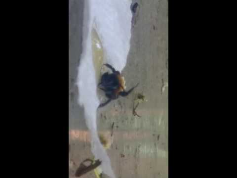 Found an injured bee, gave it some honey