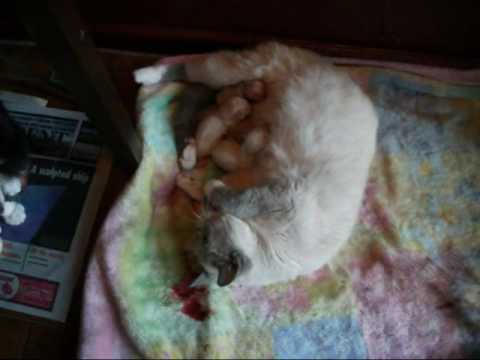 Cat giving birth, one stillborn :( 3 healthy!