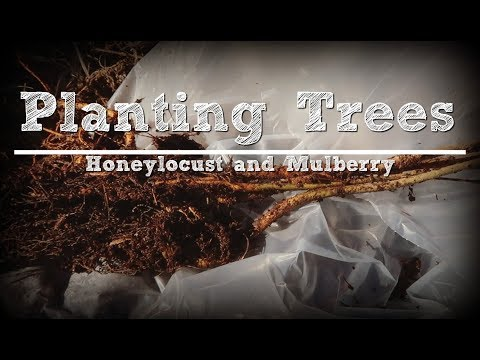 Planting Thornless Honeylocust and Mulberry Trees with a Bottle Lamb