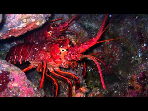 Lobsters Can Affect Our Thinking