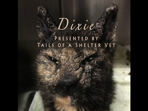 Dixie's Transformation - The Worst Case of Feline Scabies You'll Ever See