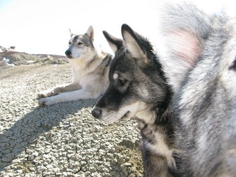 The wild Wolf, her mate the Samoyed and the birth of the wolf pups