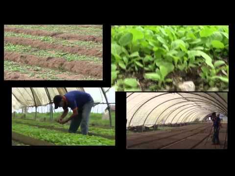 Cuban Seedbed