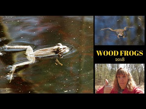 My favorite Spring Activity ~ Searching for Wood Frogs ~ West Hill Park