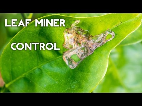 Organic Leaf Miner Control on citrus and other plants