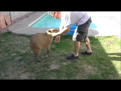 Even the Most Sweet Natured Pet Capybara Can Turn Aggressive甘い性格のペットカピバラは攻撃的になる