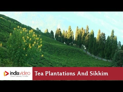 Tea Plantations and Sikkim | India Video
