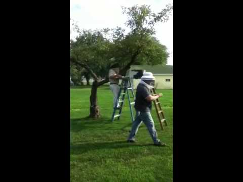 How to get a swarm of bees out of tree