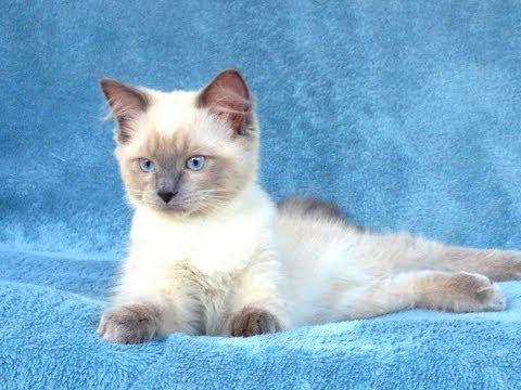 Animal Planet  :  Cats 101 ~ Ragdoll