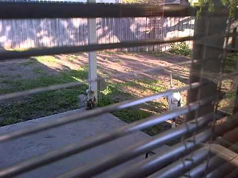 neighbors pit bulls in my yard