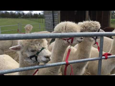 A Day With Alpaca