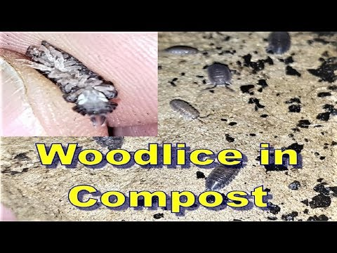 One Minute with the Composters: WOODLICE