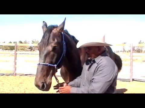 Pegasus Training Halter Demo: Draft Horses