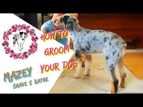 How To Groom Your Dog Yourself | Shave and Bathe an Aussie