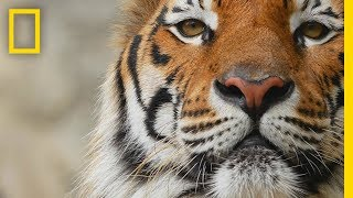 Download Tigers 101 | National Geographic Video