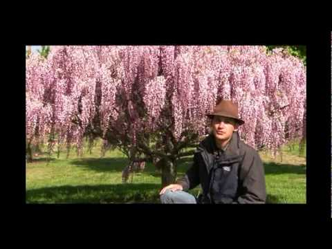 How to Grow Wisteria Vine as a Tree - Gurney's Video