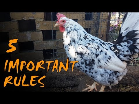 Chicken Keeping for Beginners | UK Rules and Regulations