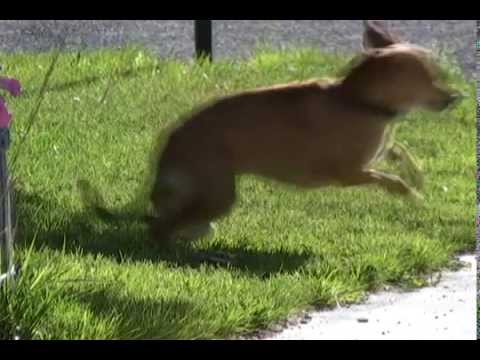Dog vs Mousetrap - How To Keep The Neighbors Dog Out Of Your Yard
