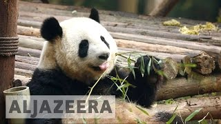 China's wild pandas under threat