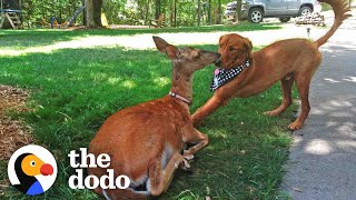 Deer Brings Her Babies To Meet Her Dog Best Friend Every Spring! | The Dodo Odd Couples