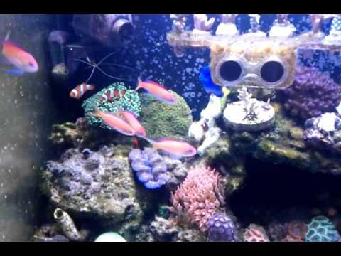 pseudanthias dispar feeding with fish food