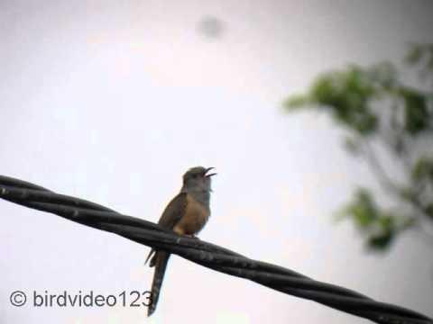 Plaintive Cuckoo Call (in Hong Kong)
